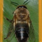 Il fuco ovvero…il maschio dell'ape  approfondimento