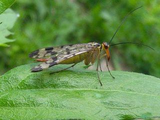 mosca scorpione