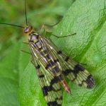 La Panorpa communis ovvero:  la mosca scorpione