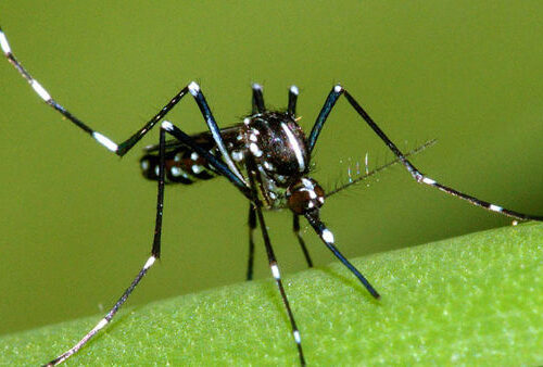 Zanzara tigre  – Aedes albopictus – Approfondimento
