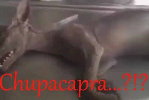 IL CHUPACABRA – Approfondimento di Teresa Breviglieri